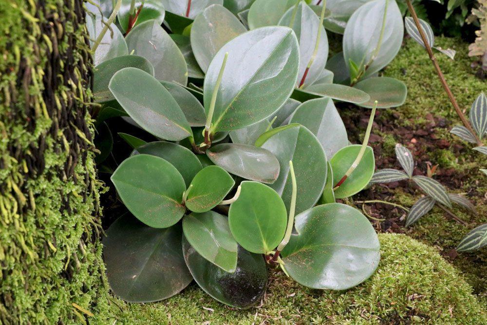 Peperomia obtusifolia ist schwach giftig