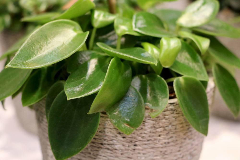 Zierpfeffer als dekorative Zimmerpflanze