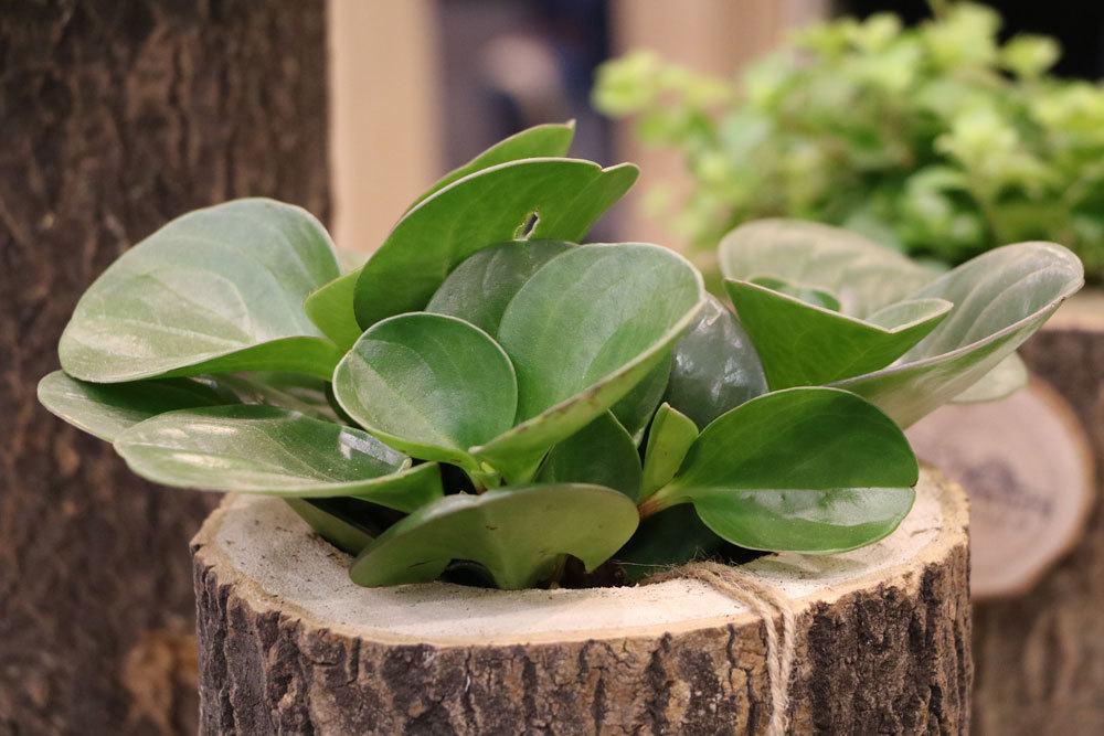 zierpfeffer peperomia obtusifolia pflege und vermehrung. Black Bedroom Furniture Sets. Home Design Ideas