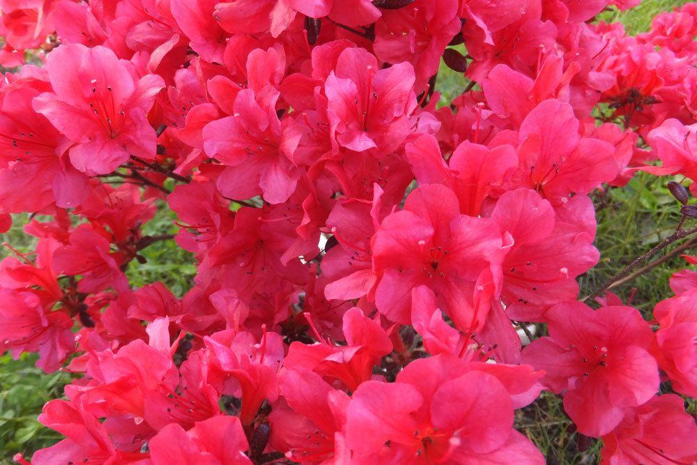 Zimmerazalee gehört zur Gattung der Rhododendren