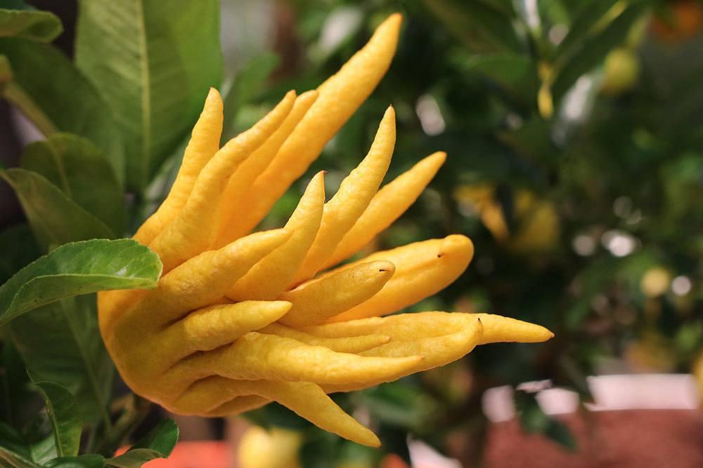 Zitronatzitrone mit süßlichem Duft