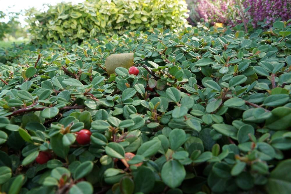 Zwergmispel - Cotoneaster als Bodendecker für den Hang