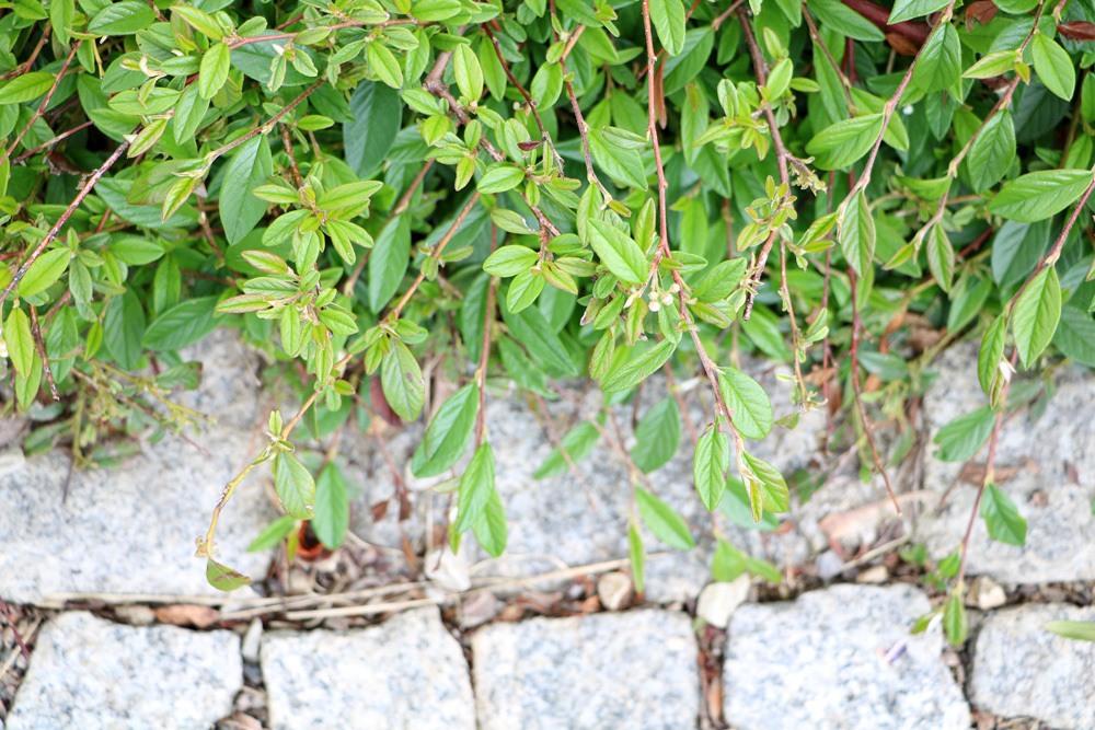Zwergmispel - Cotoneaster