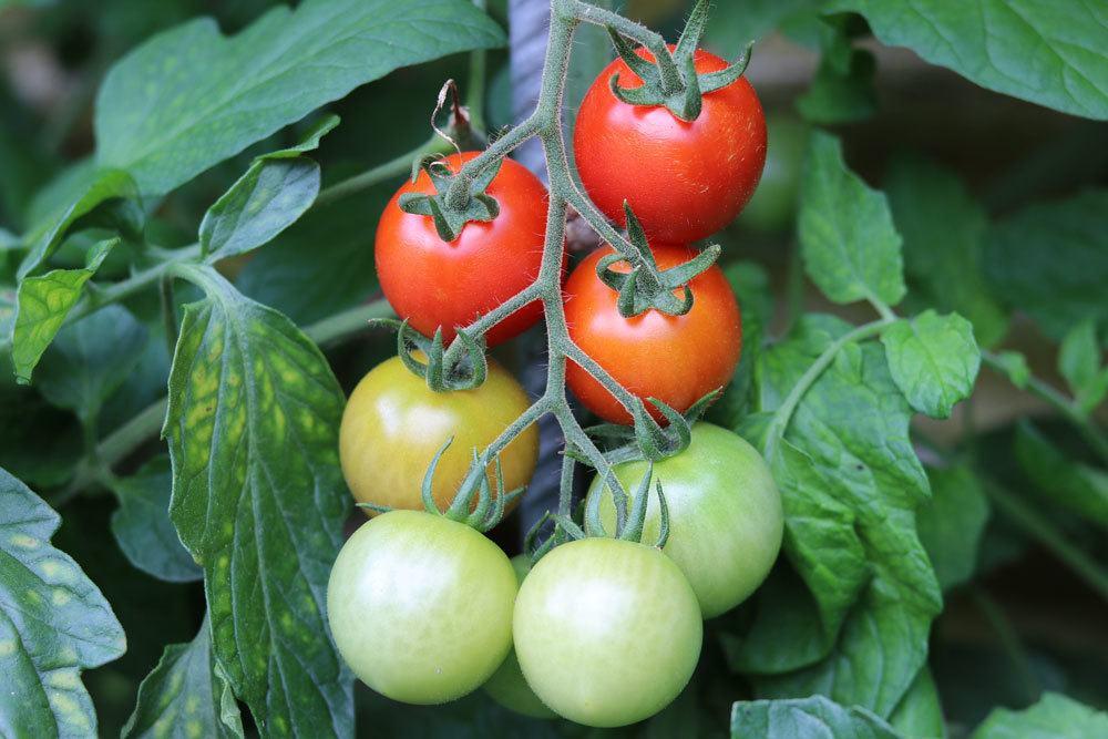 Tomatenpflanze mit reifenden Früchten im Garten