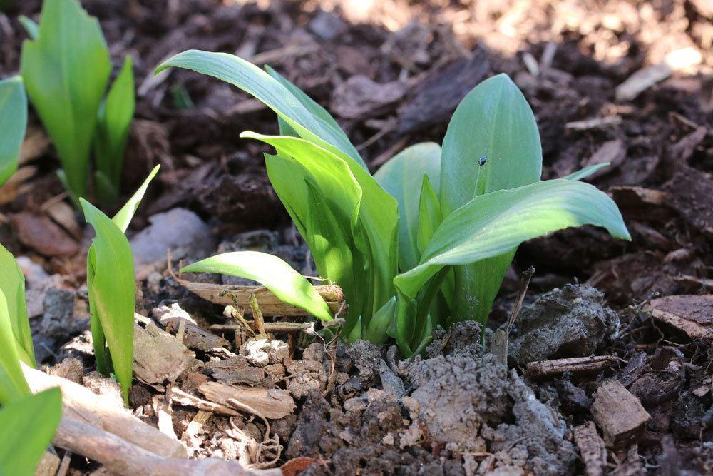Bärlauch-Blätter