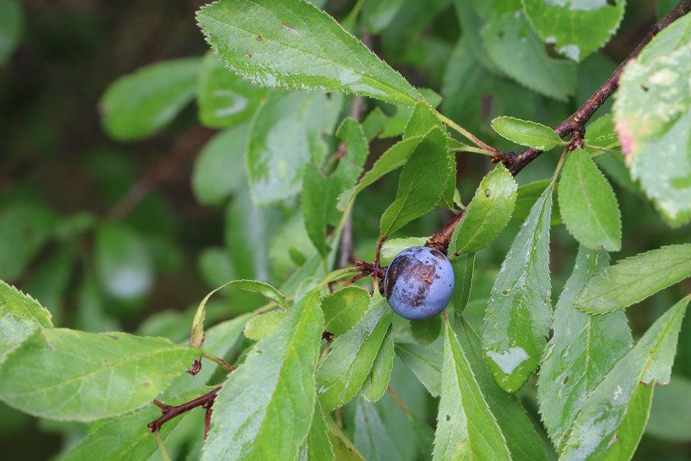 Schlehdorn, Prunus spinosa
