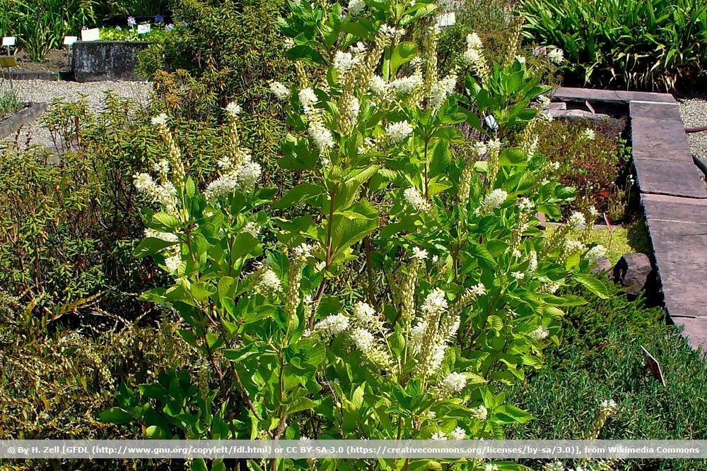 Silberkerzenstrauch, Clethra alnifolia