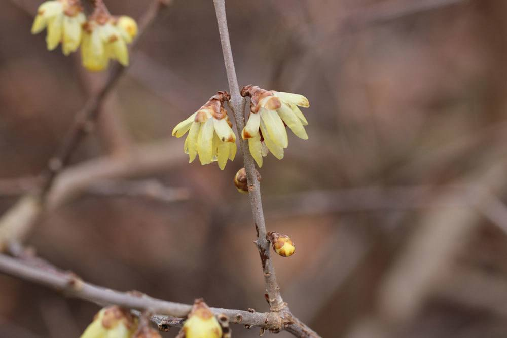 Winterblüte, Chimonanthus
