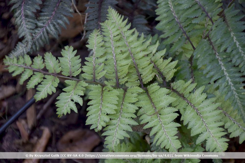 Japanischer Regenbogenfarn, Athyrium niponicum Metallicum