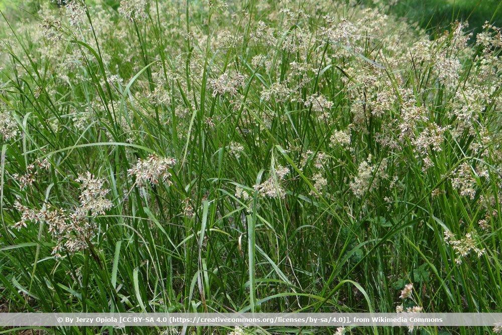 Waldmarbel, Luzula sylvatica