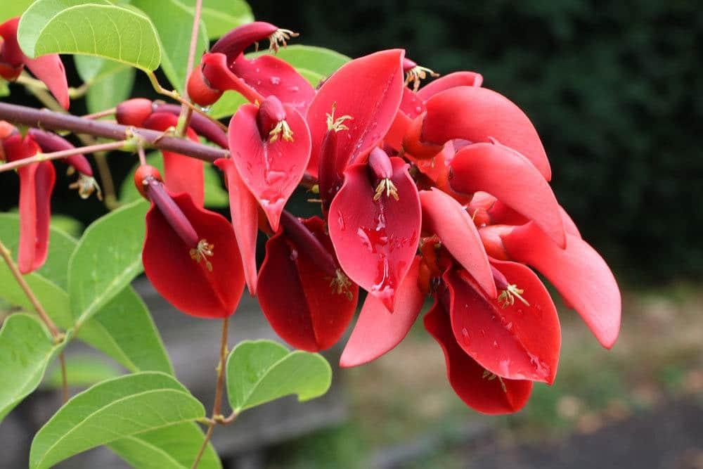 Korallenstrauch, Solanum pseudocapsicum, Erythrina