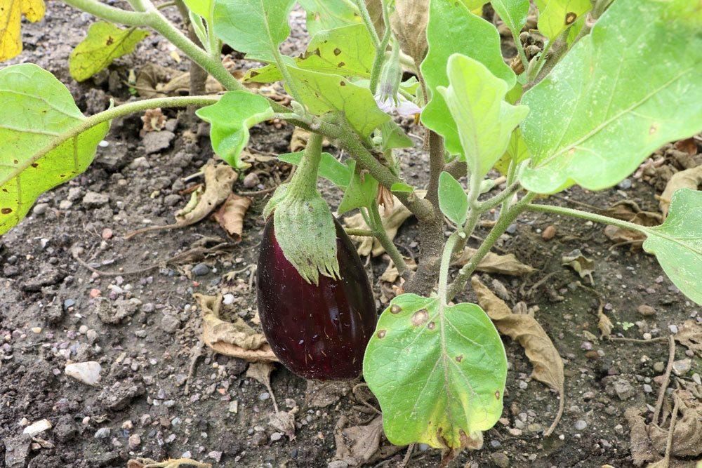 Solanum melongena ist eine Wildart der Aubergine