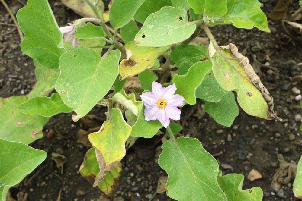 Eierbaum mit geöffneter Blüte