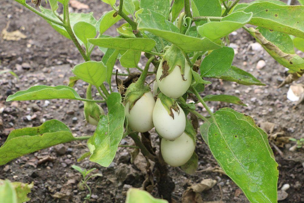 Eierbaum mit weißen Früchten