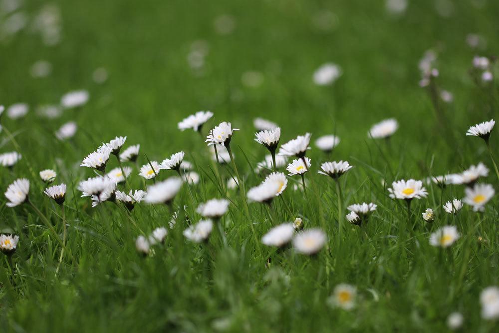 Gänseblümchen mit weißer Blütenfarbe