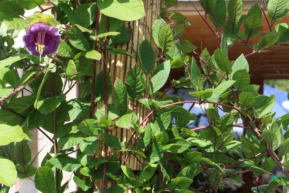 Glockenrebe, Cobaea scandens richtig pflegen