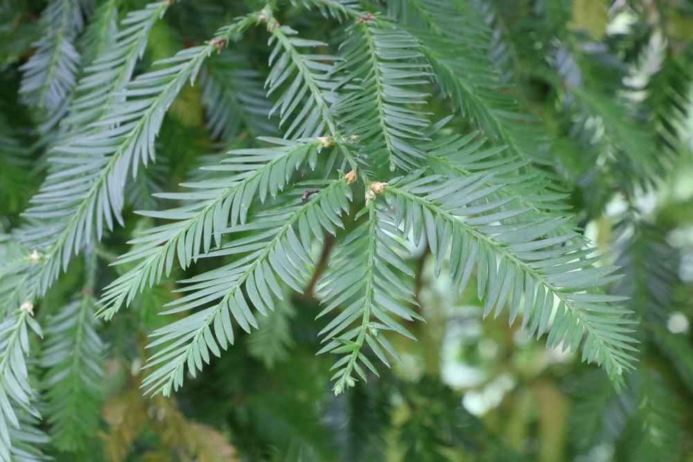 Küstenmammutbaum, Sequoia sempervirens