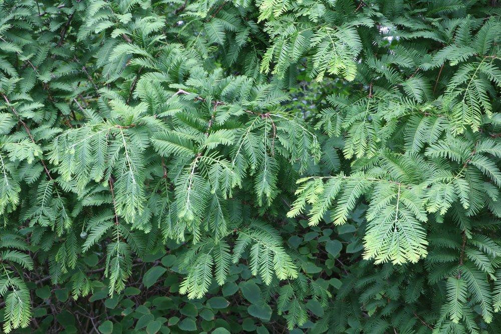 Urweltmammutbaum, Metasequoia glyptostroboides