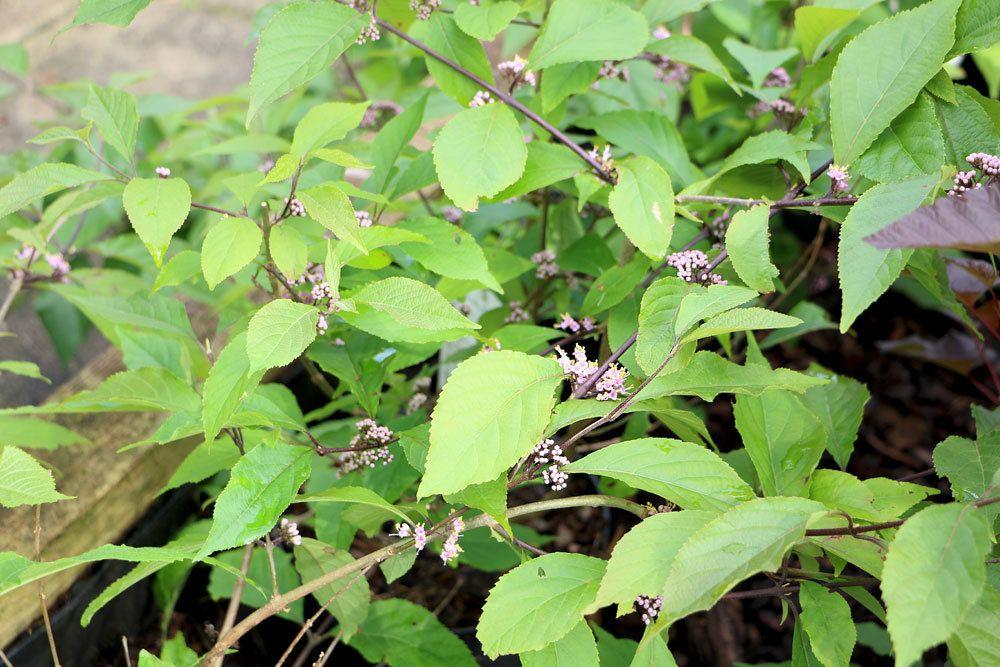 Callicarpa bodinieri im Gartenbeet