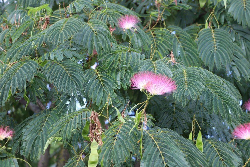 Schlafbaum wird auch Seidenbaum genannt