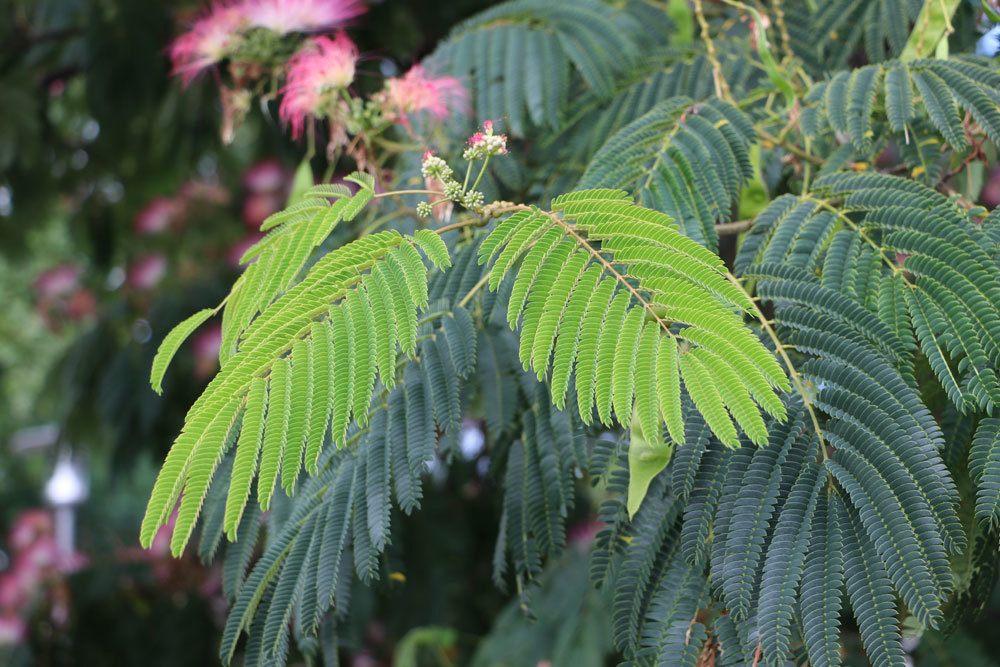 Schlafbaum mit fedrigen Blättern