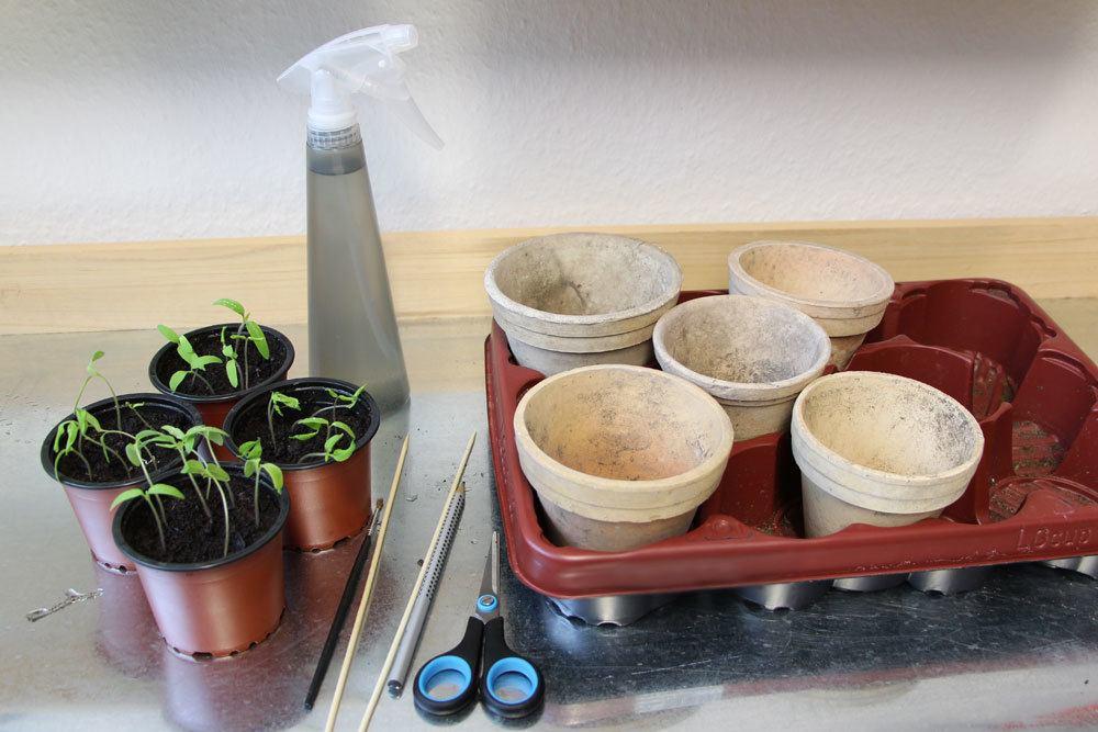 Tomaten-Keimlinge pikieren