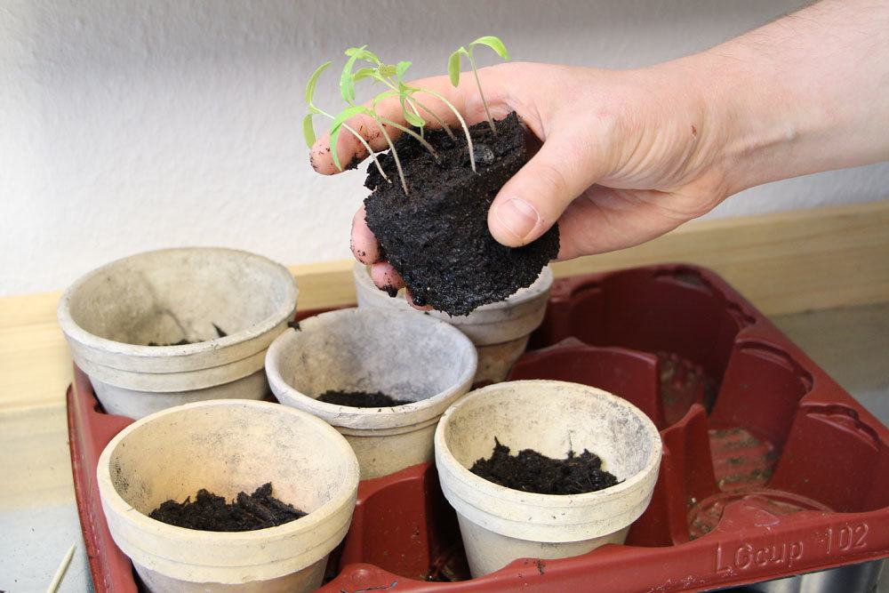 Tomaten-Keimlinge einzeln in Töpfe pflanzen