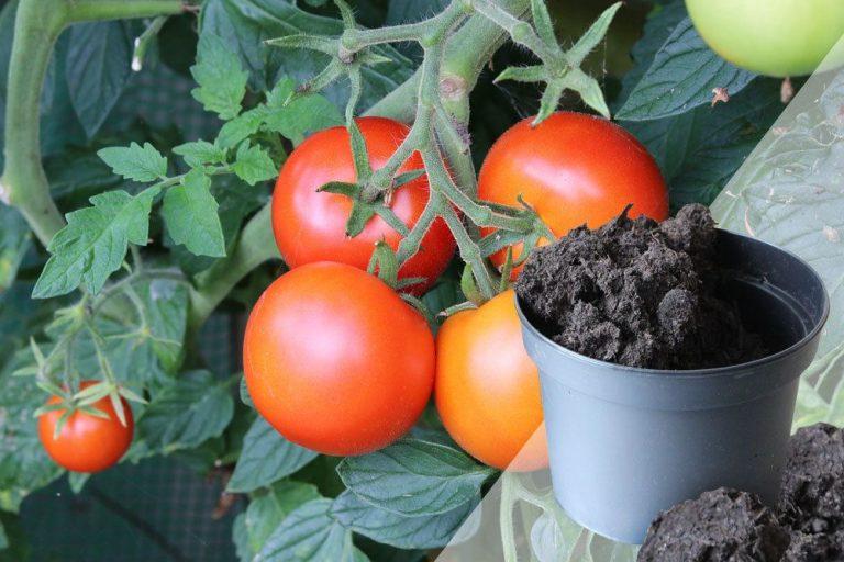 Tomatenerde, die beste Erde für Tomaten