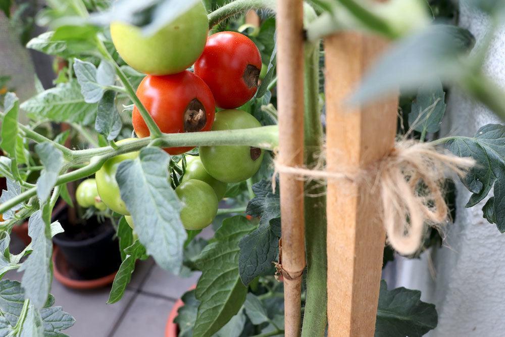 Blütenendfäule auch an Tomaten