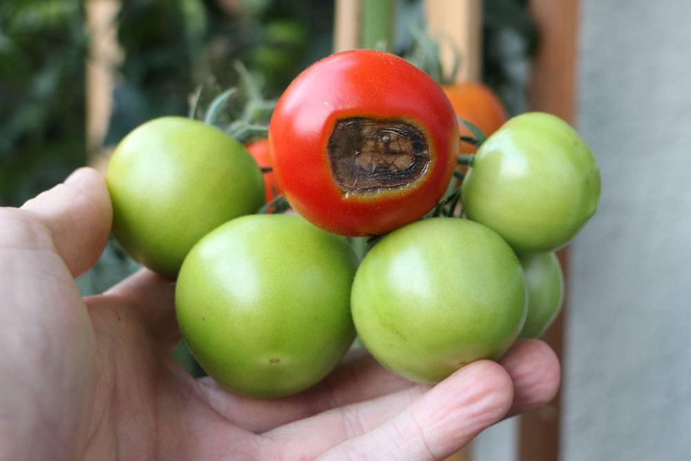 Blütenendfäule an einer Tomate