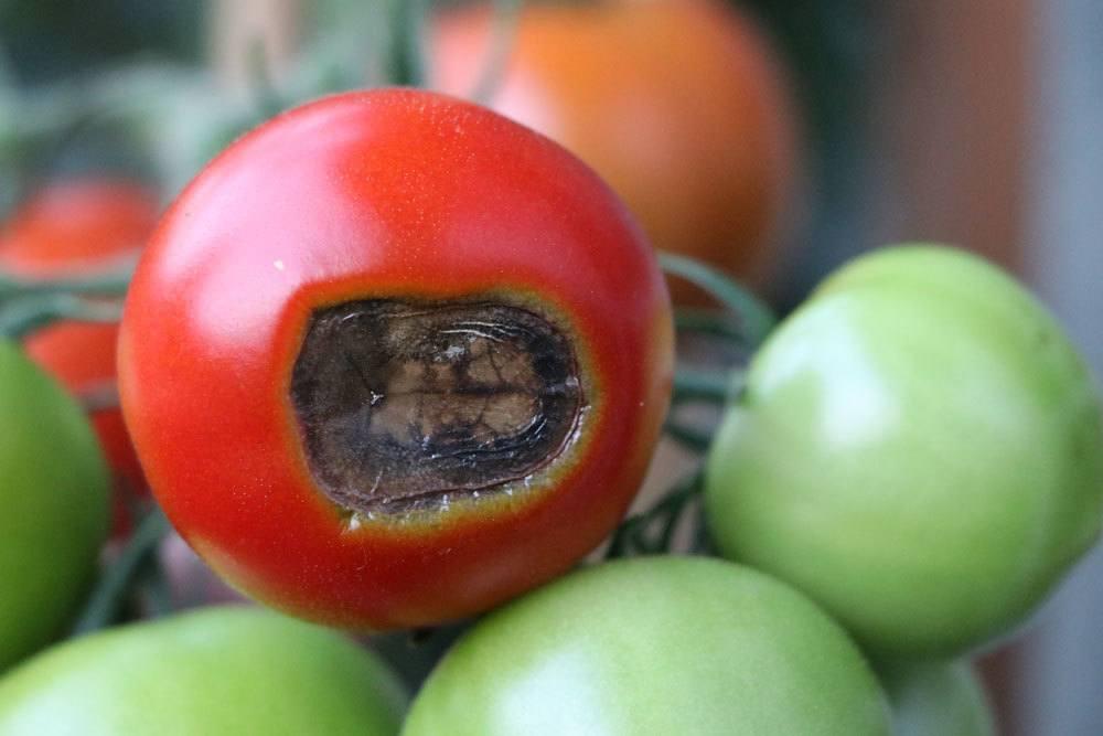 Tomatenkrankheiten, Blütenendfäule