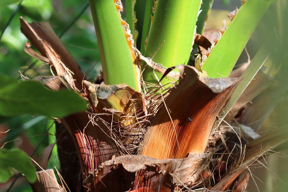 Washingtonia robusta auch Priesterpalme genannt