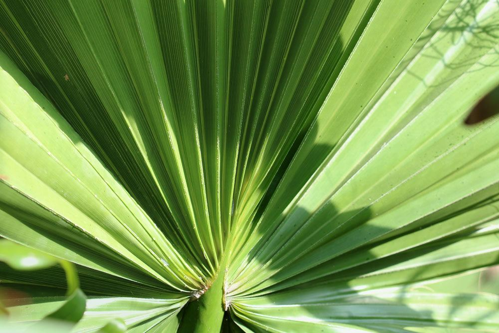 Washingtonia robusta mit großem Palmenwedel