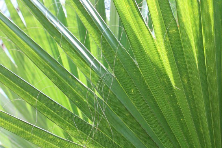 Washingtonia robusta auch Washington-Palme