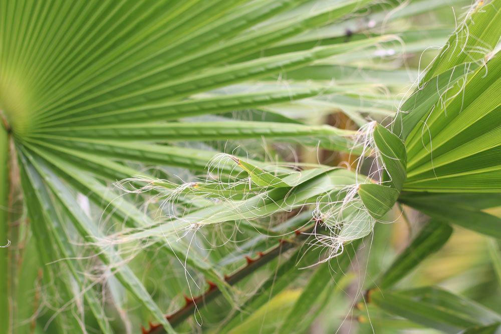 Petticoat-Palme