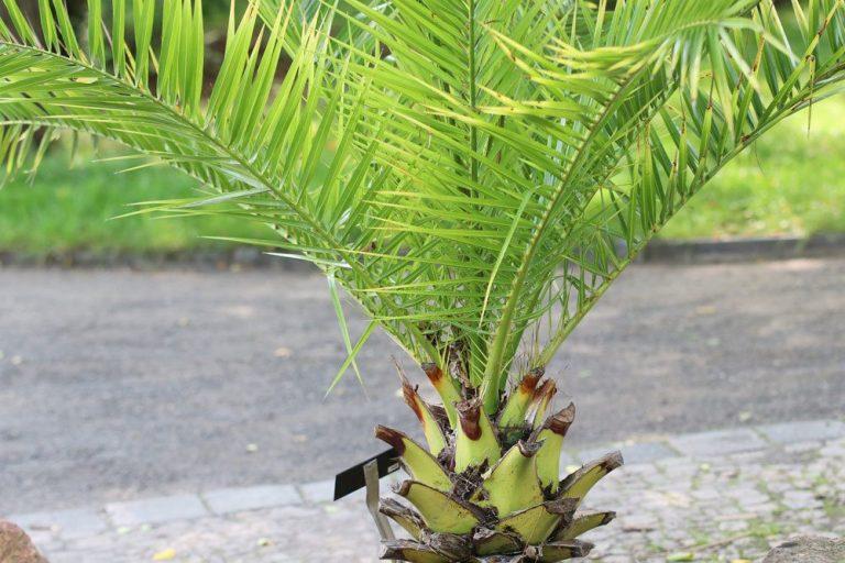 Washingtonia robusta, Petticoat-Palme richtig pflegen