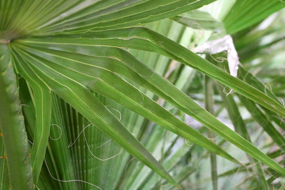 Petticoat-Palme für Haus oder Garten geeignet