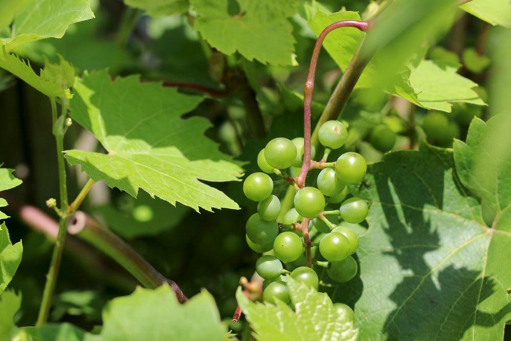 Weinrebe mit grünen Trauben