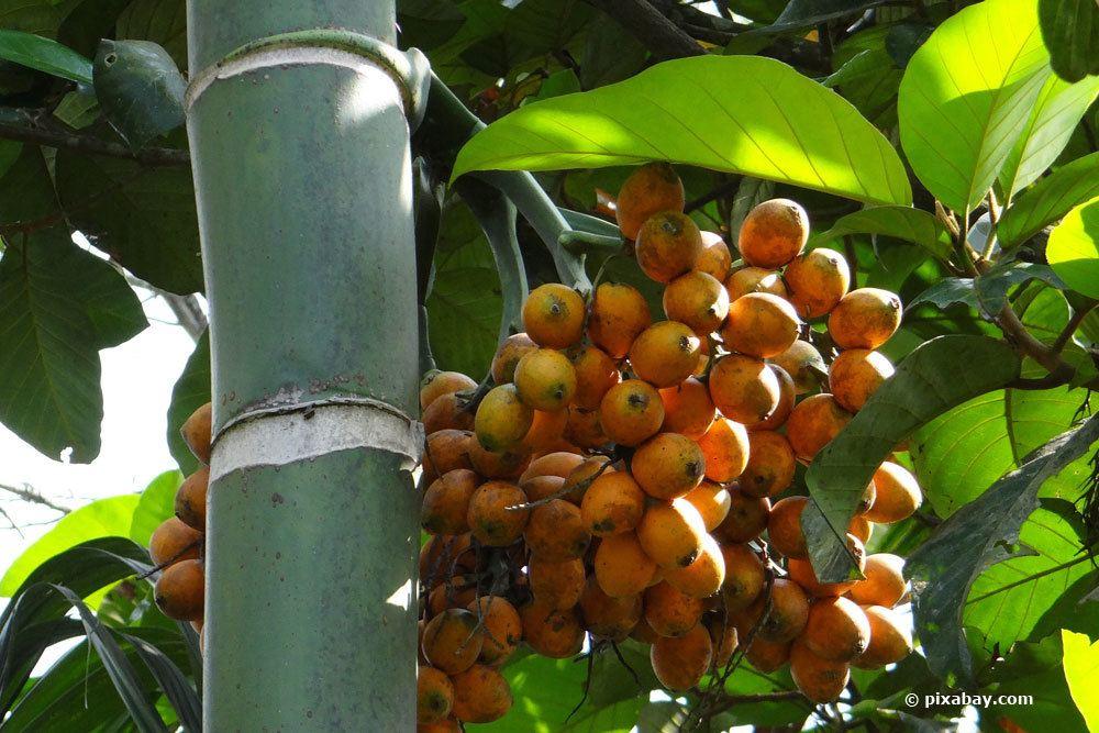 Arekapalme, Betelnusspalme, Areca catechu