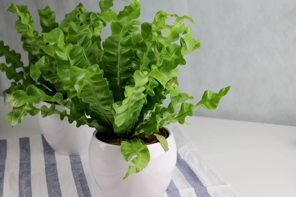 Hirschzungenfarn, Asplenium scolopendrium