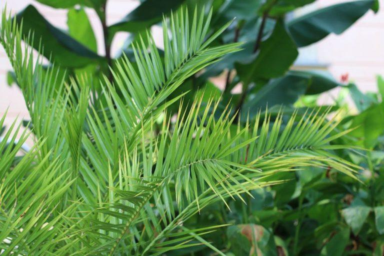 Dattelpalme, Phoenix dactylifera richtig pflegen