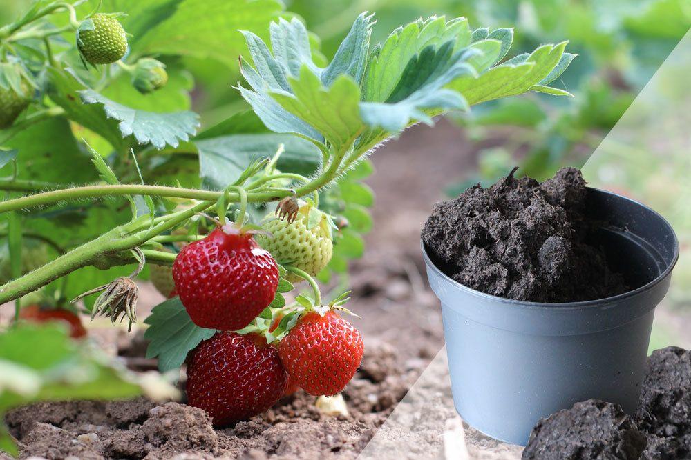 Erde für Erdbeeren