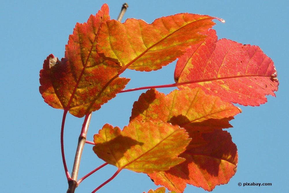 Feuerahorn, Acer ginnala