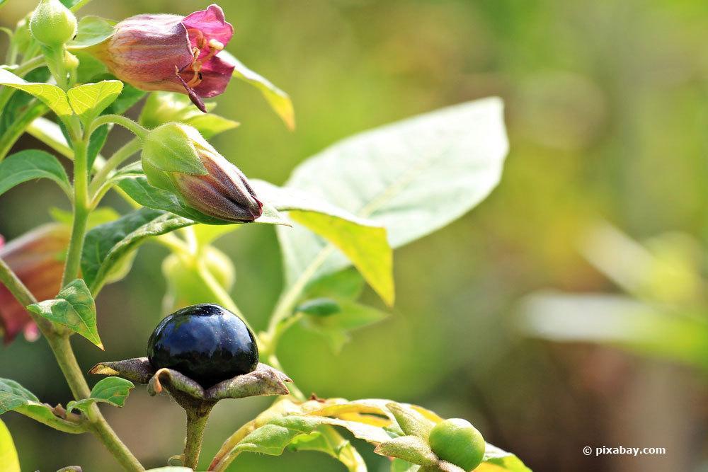 Schwarze Tollkirsche, Atropa belladonna