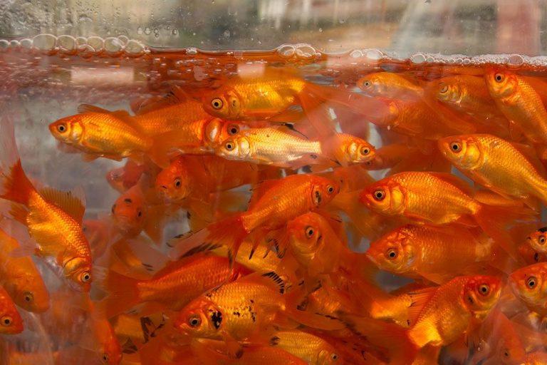 Goldfische im Wasserbecken