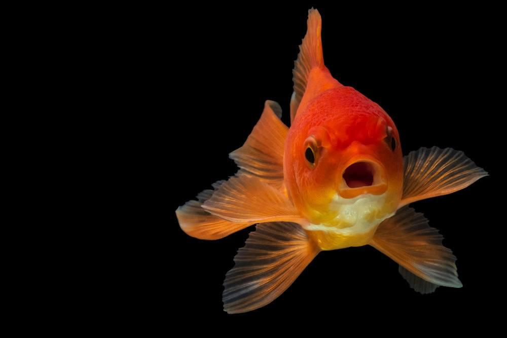 Goldfisch braucht genügend Sauerstoff