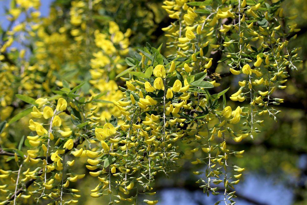 Goldregen, Laburnum anagyroides