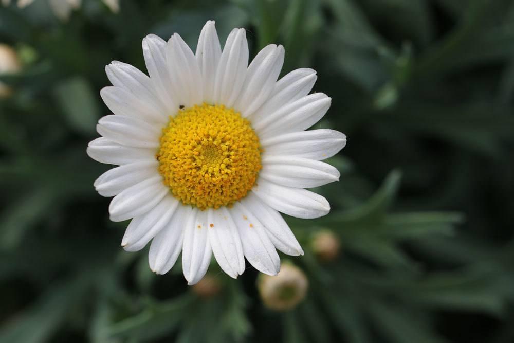 Margeriten-Blüte
