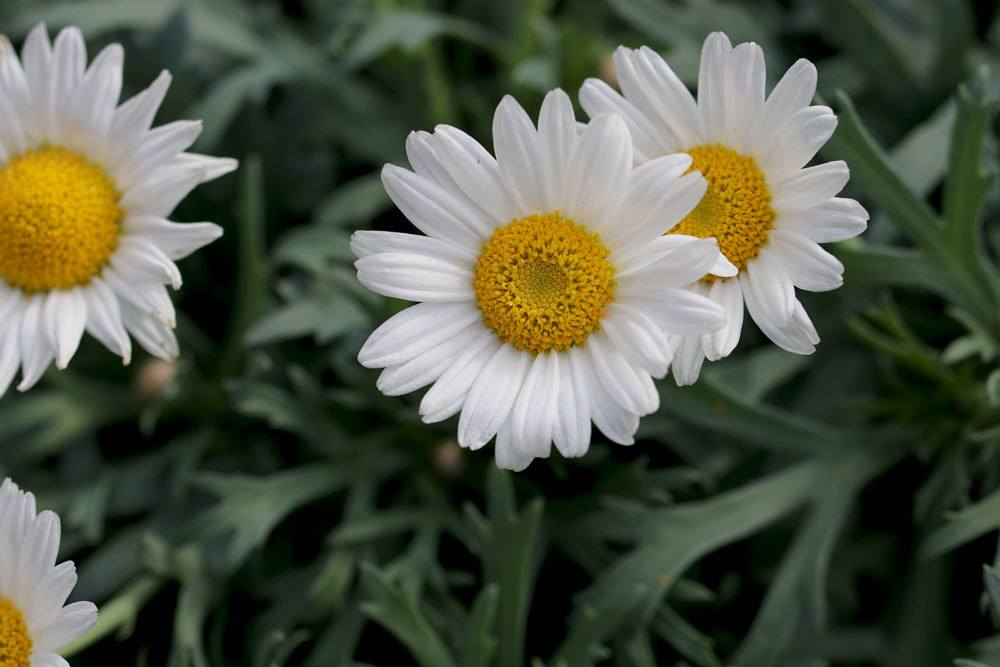 Margeritenstämmchen mit Blüten