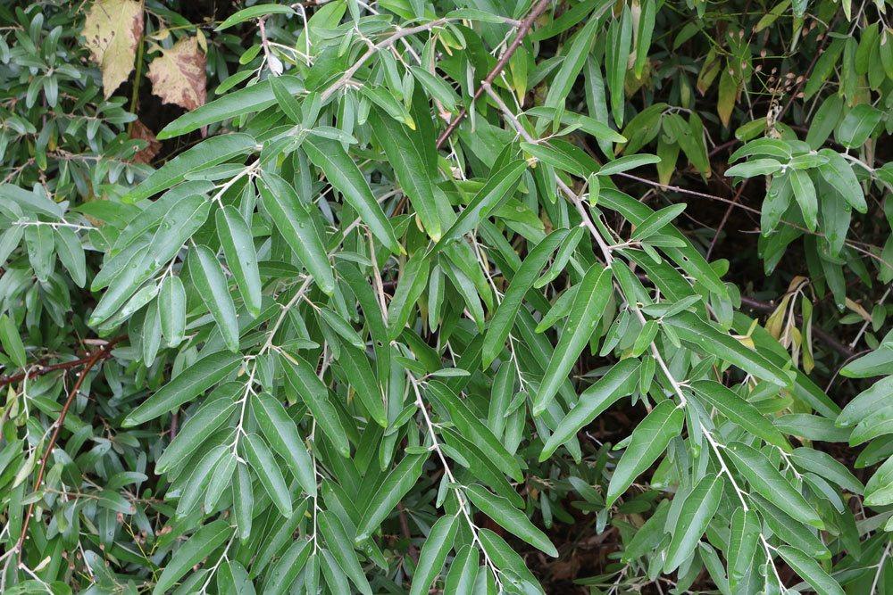 Schmalblättrige Ölweide, Elaeagnus angustifolia